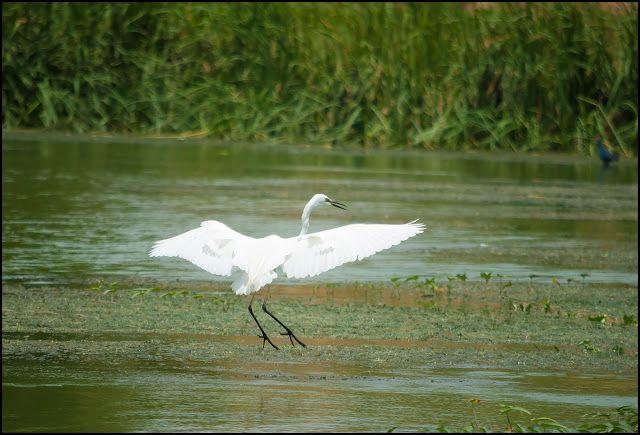little egret, university of hyderabad, india