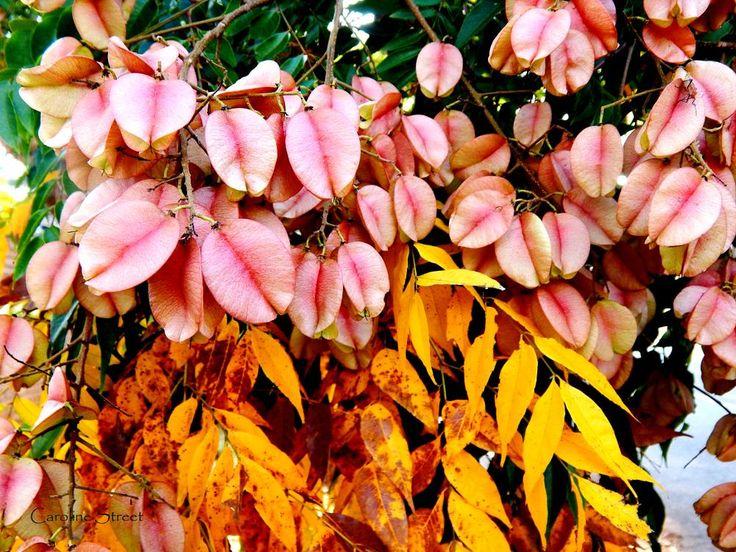 Goldenrain Tree by carolinestreet