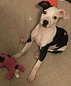 Pictures of Oreo Cookie a Pit Bull Terrier for adoption in Dallas, GA who needs a loving home.