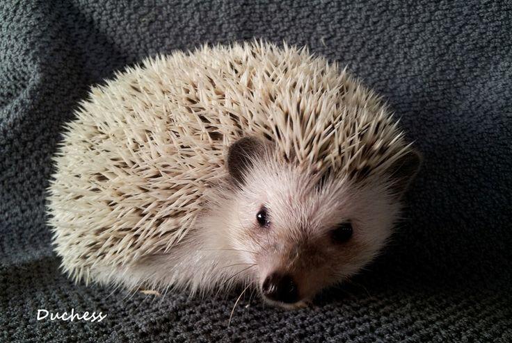 Pet hedgehogs for sale Portland Oregon, Washington, hedgehog