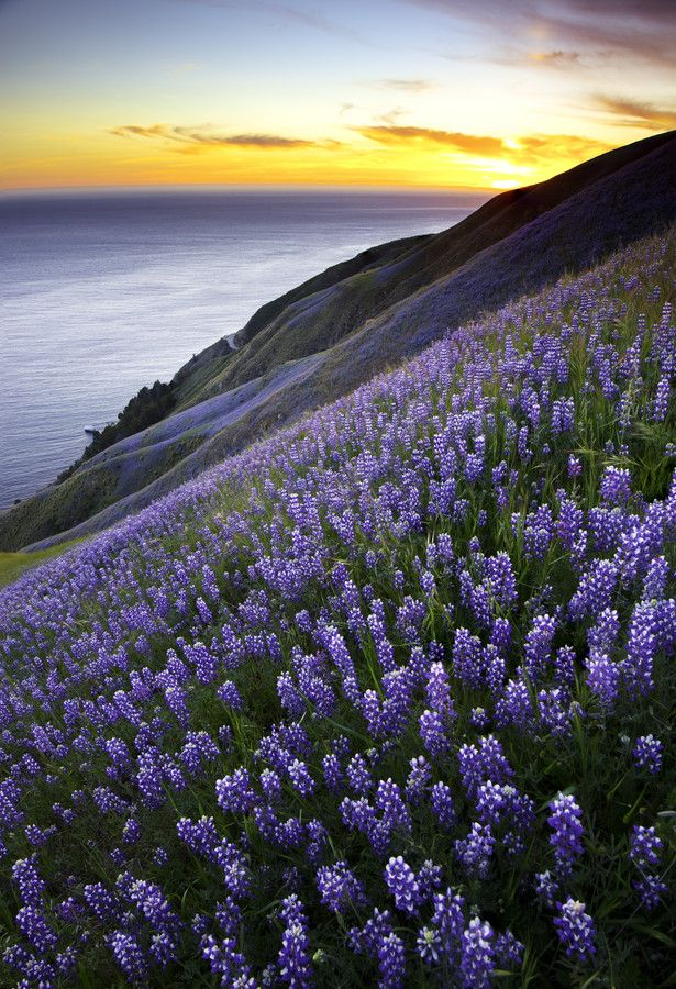 Sunset & Purple Sea of Lupines above Big Sur, California - meditate on this, how beautiful