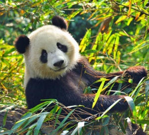 A research team, led by Institute of Zoology of Chinese Academy of Sciences and BGI, has successfully reconstructed a continuous population history of the giant panda from its origin to the present. The findings suggested whereas global changes in climate were the primary drivers in panda population fluctuation for millions of years, human activities were likely to underlie recent population divergence and serious decline.