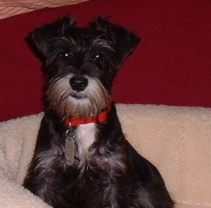 Miniature Schnauzer's: To Know Them Is To Love Them -(GOOD ARTICLE ON THOSE CONSIDERING A SCHNAUZER OR WHO OWN A SCHNAUZER)