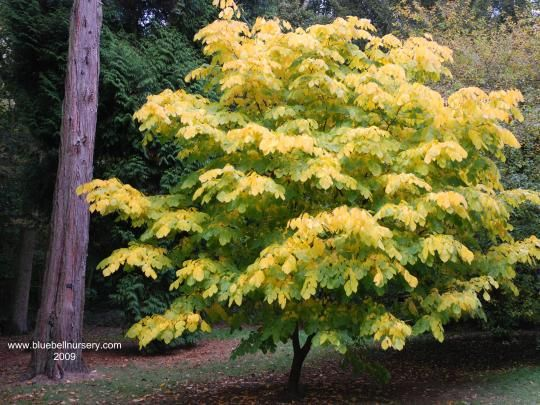 28 best treessalt tolerantwinddrought images on pinterest fragrant tree yellowwood cladrastis lutea pendant panicles of 1 inch white flowers in early spring deciduous 40 by 30 feet mightylinksfo