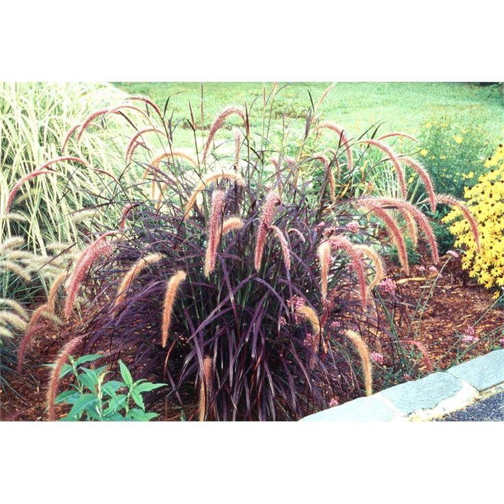 140mm pennisetum purple fountain grass bunnings for Fountain grass garden