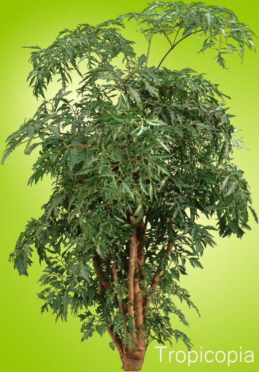 97 best images about aralias on pinterest trees bonsai trees and plants - Leafy houseplants ...