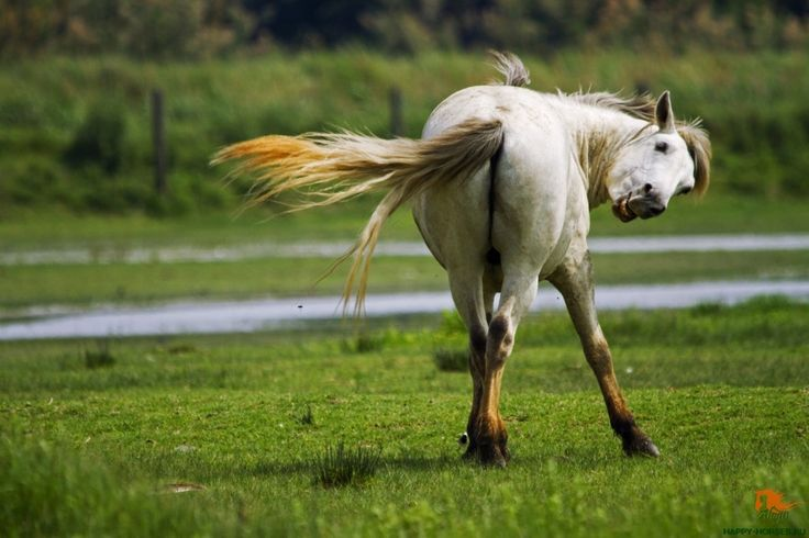 Камаргу Камаргу – это одна из древнейших пород лошадей во всем мире. Полудикие светло-серые лошади камаргу родом из болотистой местности в дельте реки Роны, на средиземноморском побережье Франции. Как самостоятельная порода, камаргу была признана в 1968 году, но на самом деле ее история уходит корнями вглубь веков, в доисторические времена.