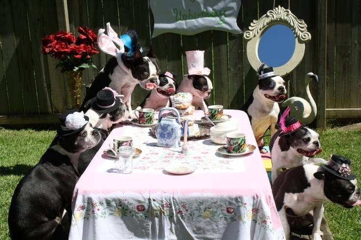 Bostie Party!!!via the Boston Terrier Rescue of East Tennessee