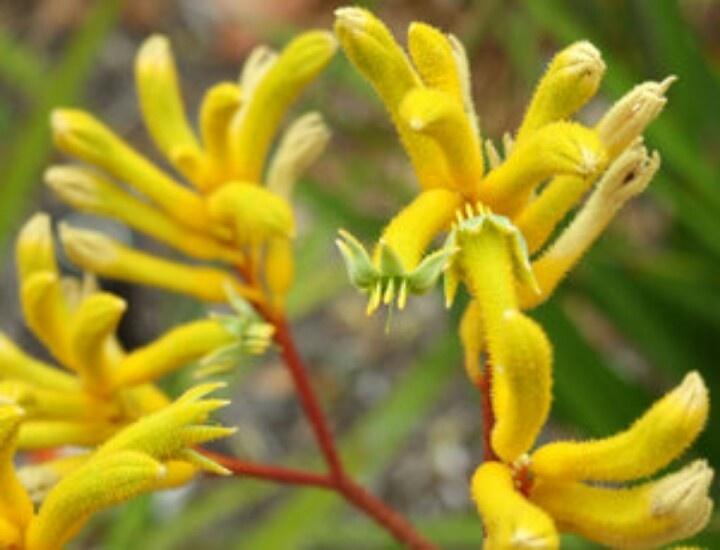 Kangaroo Paws Spring