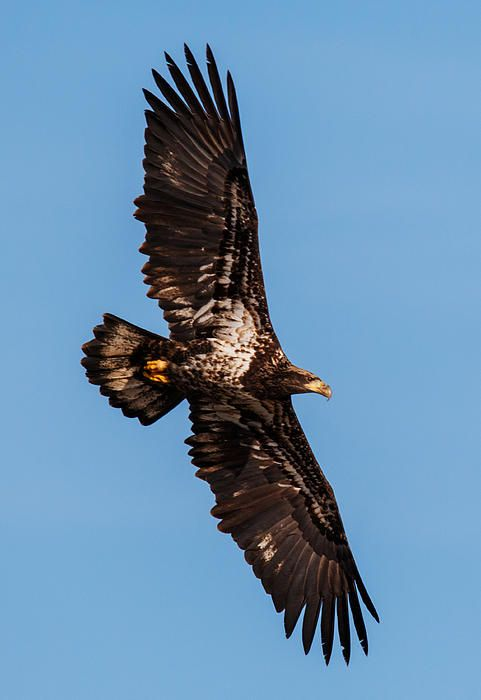 Wings - by Angie Vogel  A Juvenile Bald Eagle with a huge wing span.