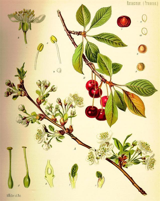 ботанические иллюстрации растений: 18 тыс изображений найдено в Яндекс.Картинках