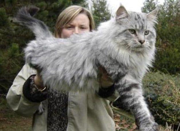 Dünyanın En Büyük Kedi Cinsleri – En Büyük Kediler