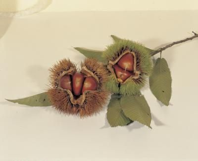 The Difference Between Chestnuts & Buckeyes