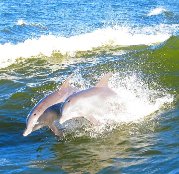 Dolphins during Dolphin Cruise