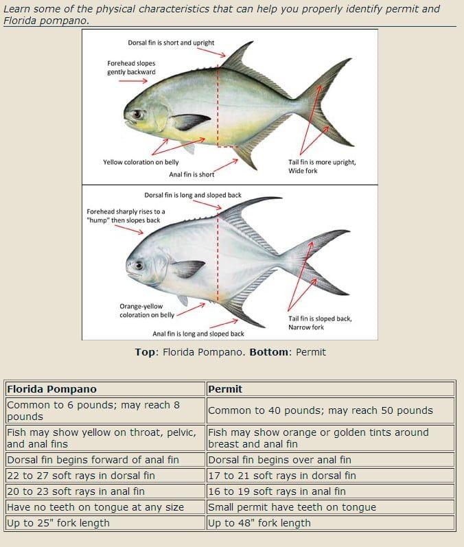 Identifying Permit Vs Pompano Fishbites Pompano Saltwater Fishing Salt Water Fishing
