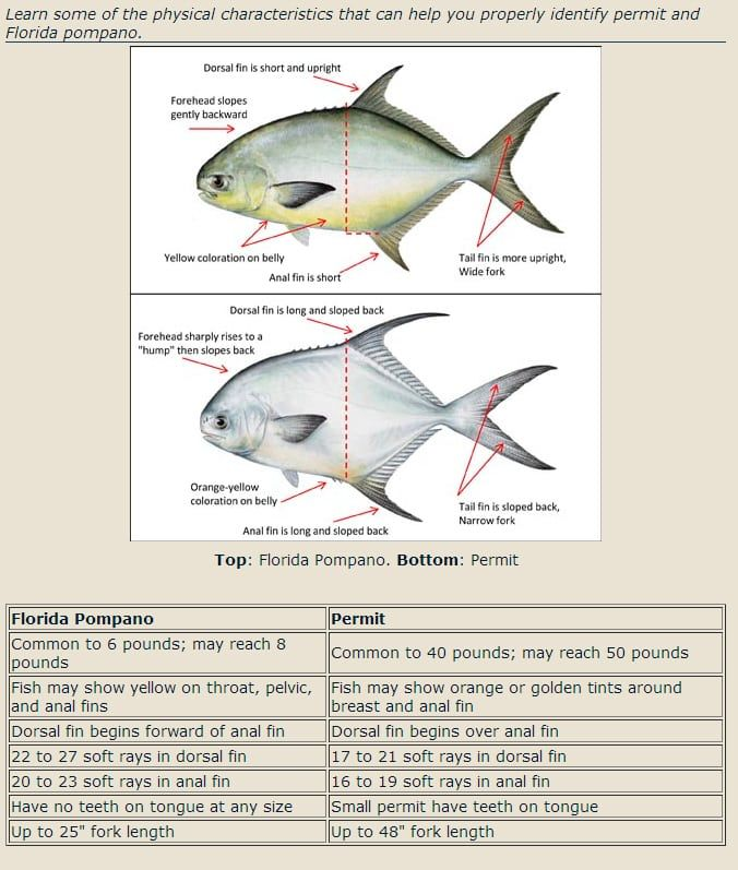 Identifying Permit Vs Pompano Saltwater Fishing Freshwater Fish