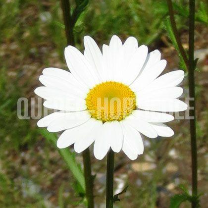 image de Chrysanthemum leucanthemum