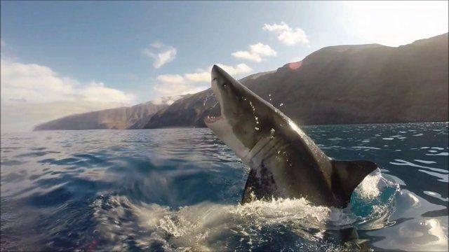 22 Foot Great White Shark Guadalupe Island   MEXICO – Guadalupe Island   Luxusní zájezdy za golfem a ...