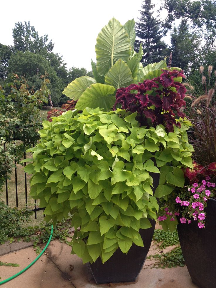 Elephant Ear Plant, Potato Vine, Patio Flowers