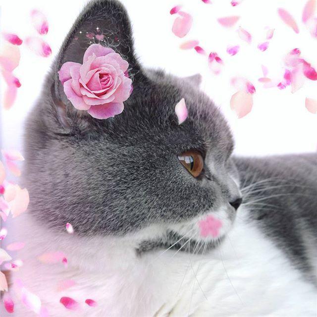 【cute_fjord_】さんのInstagramをピンしています。 《Привет, сентябрь!  #сакура #кот #котик #мило #мимими #цветы #весна #скоттиш #скоттишстрайт #инстаграмкота #cat #scottishcat #sakura #cute #flowers #pink #kawaii #mimimi #followme #花 #猫 #可愛い #桜 #春》