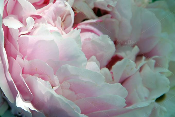 White Petal Peonies Background by mousemade photos on Creative Market