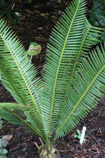 Dioon,Dioon for sale,buy Dioon,Sago Palm,buy Sago Palm,Sago Palm for sale,Perennial plants for sale
