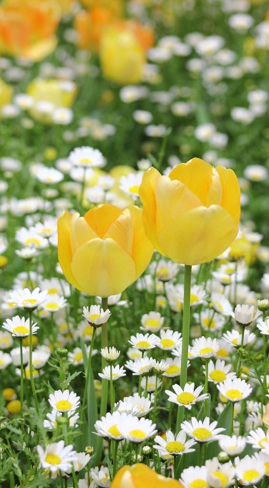 tulips and daisies...