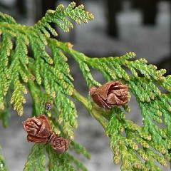 Thuja Oil (Cedar Leaf)