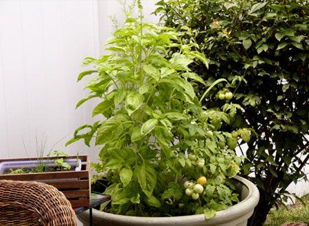 NZ Ecochick: Companion gardening