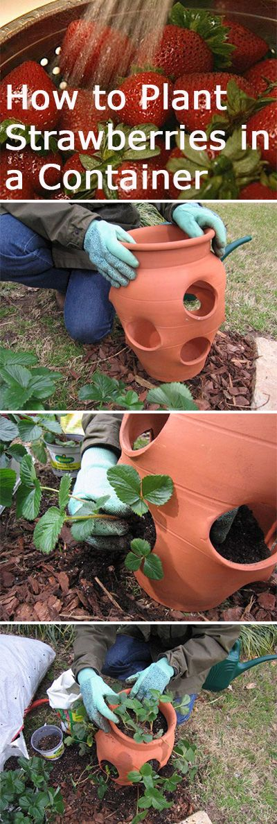 How to Plant Strawberries in a Container >> http://www.diynetwork.com/how-to/how-to-plant-strawberries/index.html?soc=pinterest