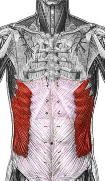 21 Best Muscles External Obliques Images On Pinterest Muscle