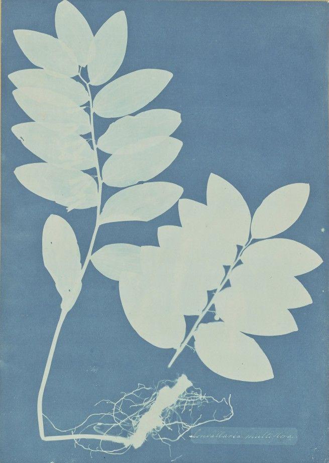 anna-atkins-cyanotype-photogramme-03