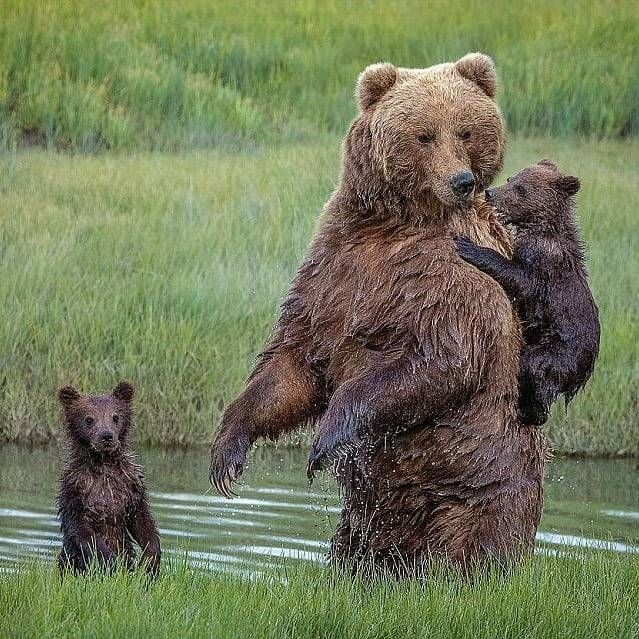 . Photo by @reneedoylephotography One of the cubs was incredibly reluctant in entering the narrow creek. said one of the cubs was reluctant to enter the waters of the creekInstead, the #mother turned...