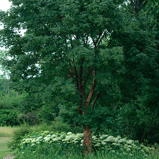 29 best images about acer griseum on pinterest trees for Small garden trees for sale