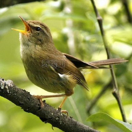 Chinese Sichuan Bush Warbler Sings Out As New Bird Species  ... see more at PetsLady.com ... The FUN site for Animal Lovers | via @roncallari