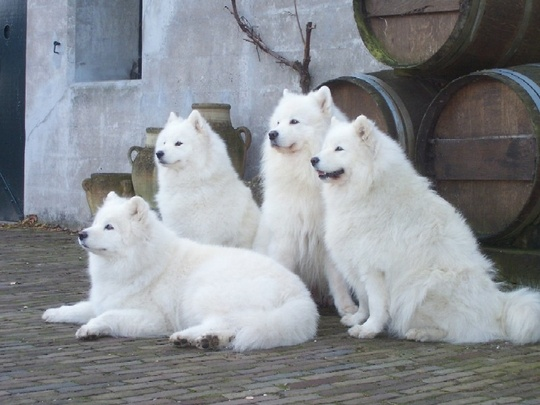 If I ever have a big backyard, this is the type of dog I'm getting! I love Samoyed dogs❤️ Of course this gang is thinking, when their back is turned everyone for themself!