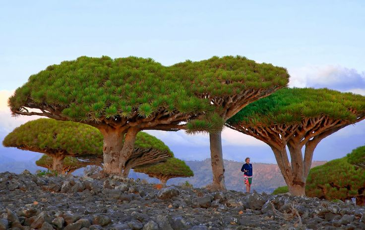 Walking Through Dragon Trees photo by Elena Bobrova