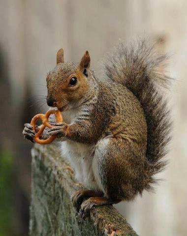 A quoi reconnait-in un écureuil alsacien ? #Alsace #squirrel