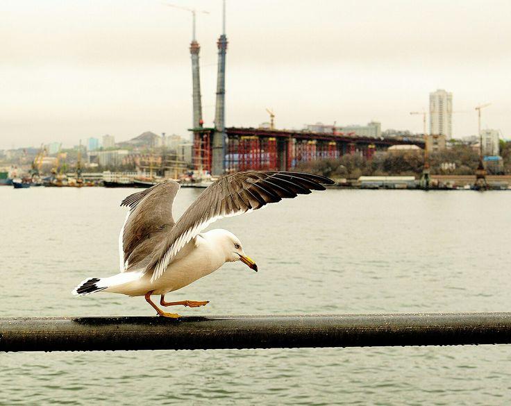 #чайка #птица #вдк #владивосток #дарумафото #darumafoto #bird #nature #city #vdk
