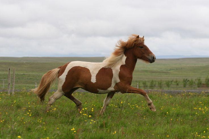 Icelandic horses for sale - Mares, Stallion prospects, Stallions, Geldings - Urvalshestar Found on urvalshestar.is