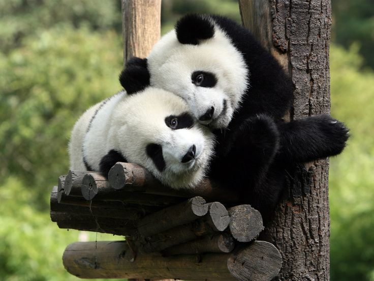 two panda love each other