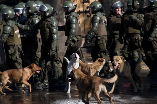 Chile, stray dogs also protest!... They do not fear tear gas or water hoses from the police: the stray dogs in Santiago are becoming unconditional participants of all events which are now held regularly in the streets of the Chilean capital. - July 12, 2013 - leParisien.fr