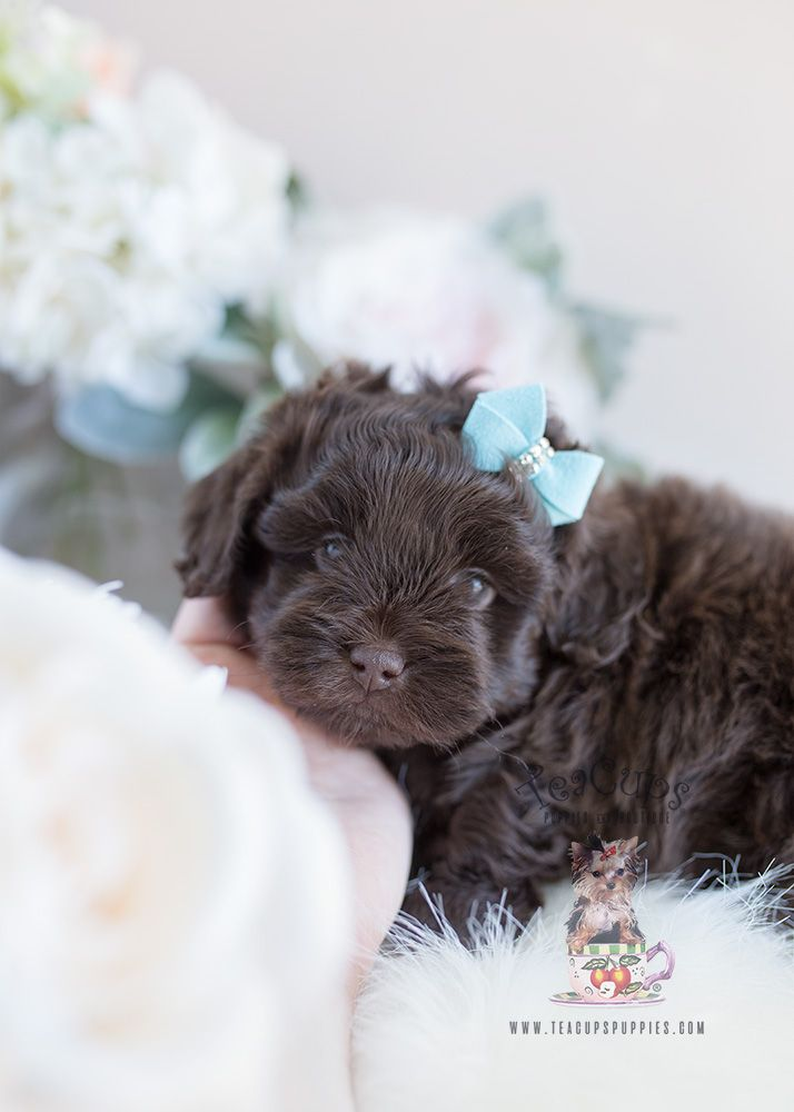 Chocolate Shih Poo Puppy By Teacup Puppies And Boutique Shih