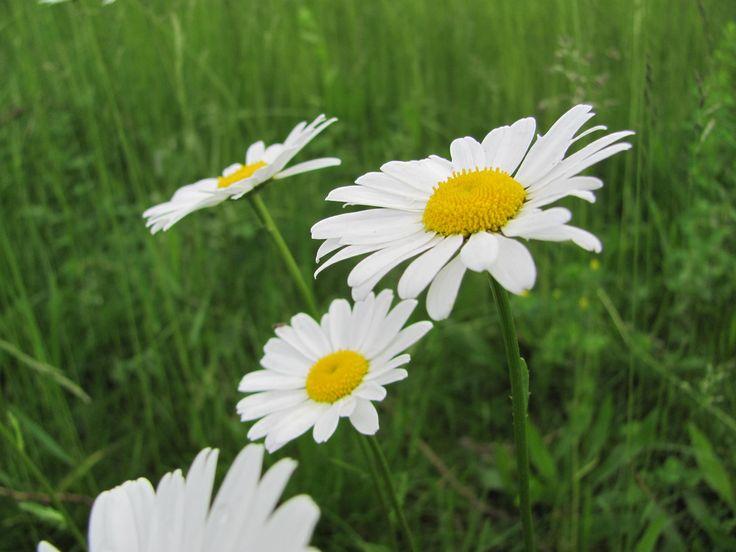 Název: Kopretina Bílá Latin. název: Leucanthemum vulgare Čeleď: hvězdnicovité Latin. čeleď: Asteraceae