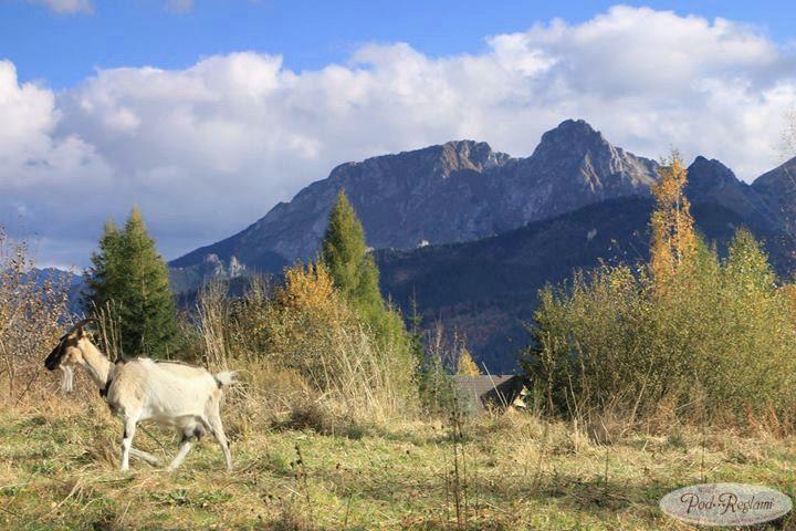 Tatry jesień - 13 listopada 2013 roku, kozica na szlaku