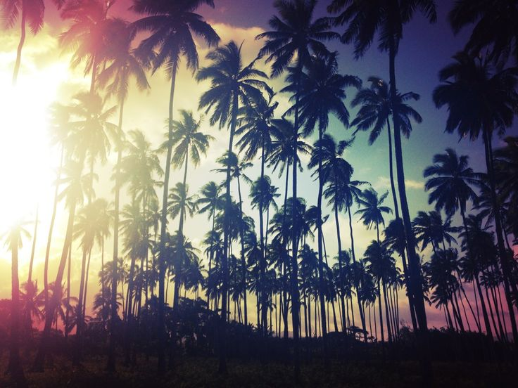 Palm tree field on Kauai at sunset.