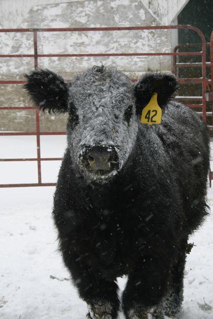 Snow Face Calf Show Calves Cow Steer Cow Cute Cows