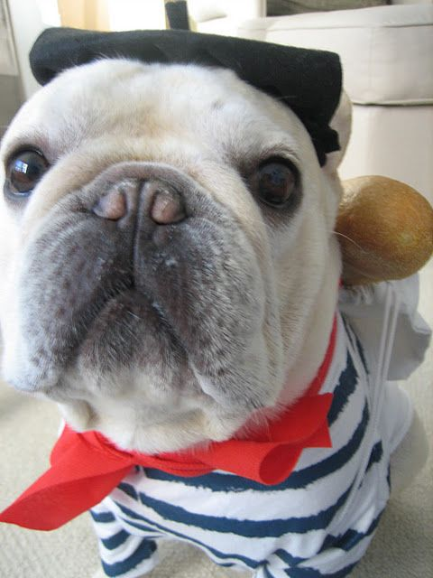 A frenchie dressed up as a Frenchman...complete with baguette!