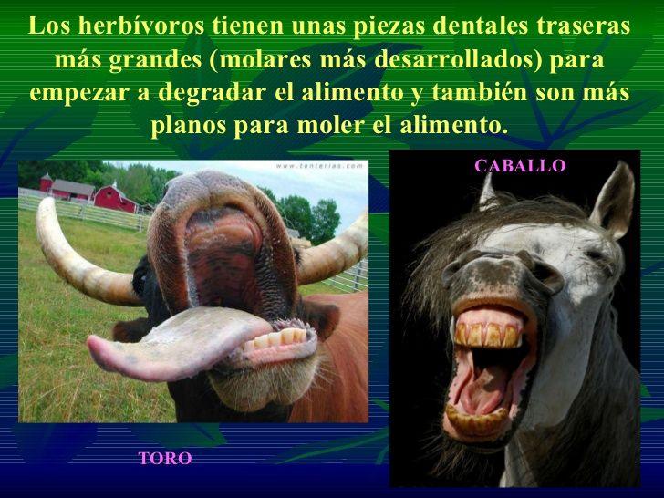 Los herbívoros tienen unas piezas dentales traseras más grandes (molares más desarrollados) para empezar a degradar el ali...