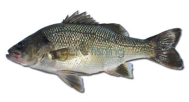 Australian Bass | Get Fishing